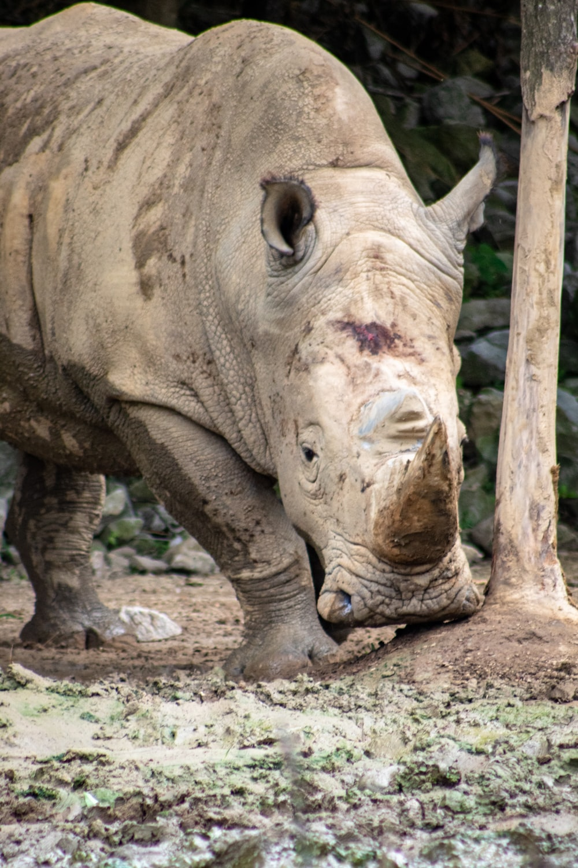 rhino near post