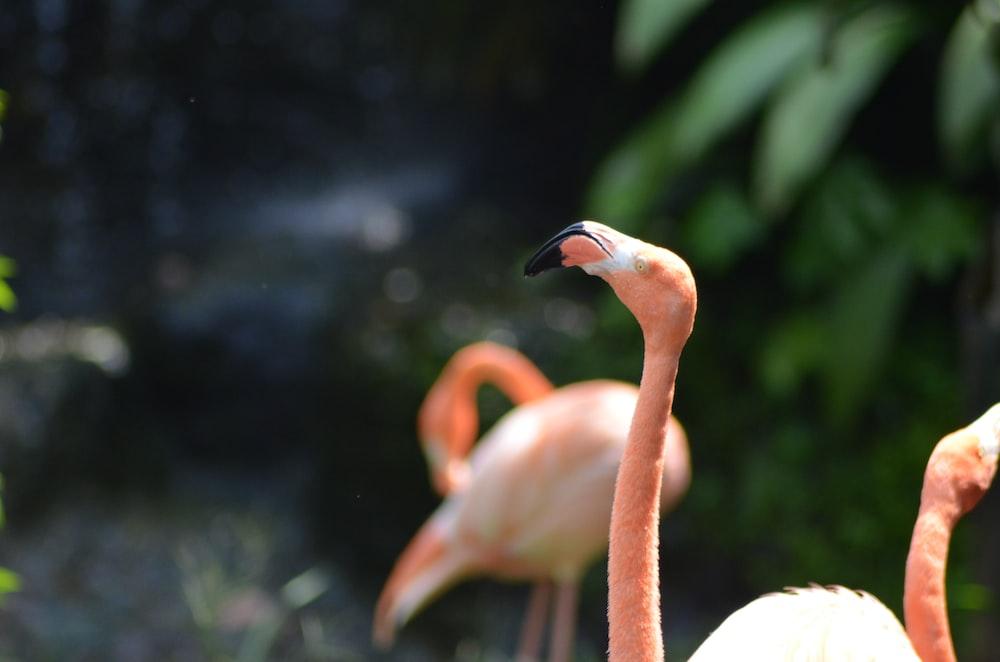 pink flamingo close-up photograph