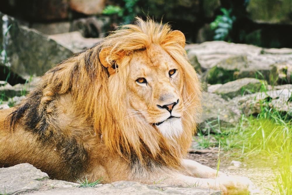 adult lion lying on ground