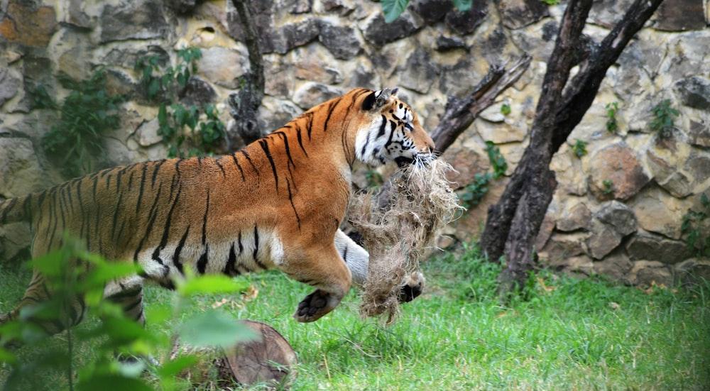 tiger running during daytime
