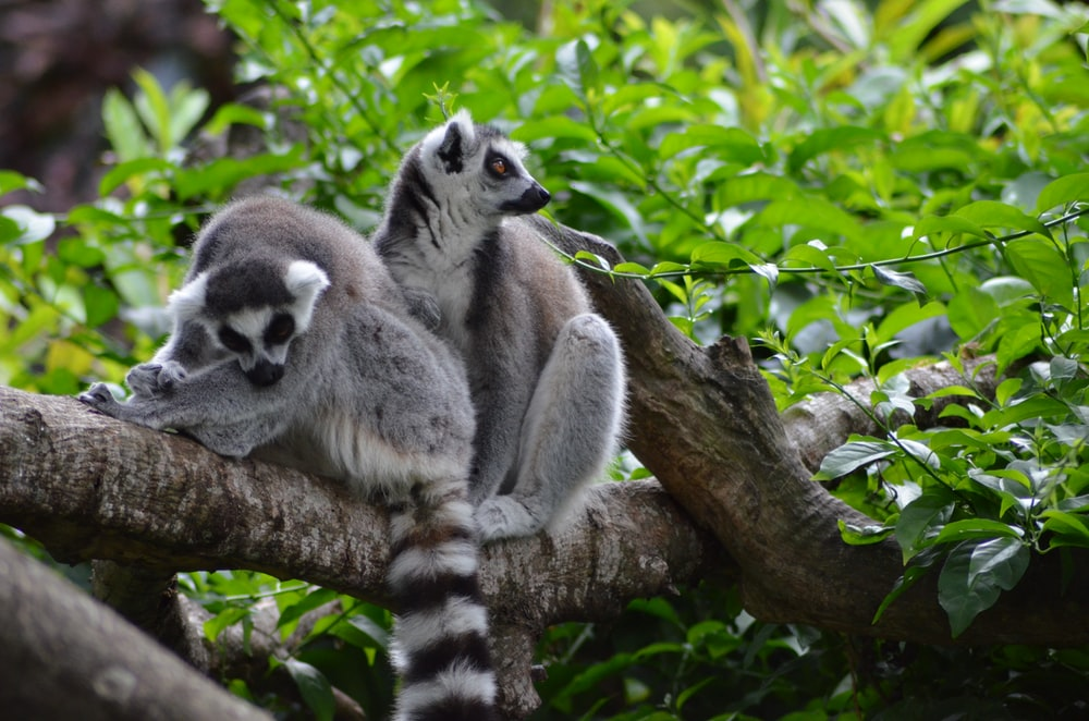 two ring-tailed lemurs resting on branch