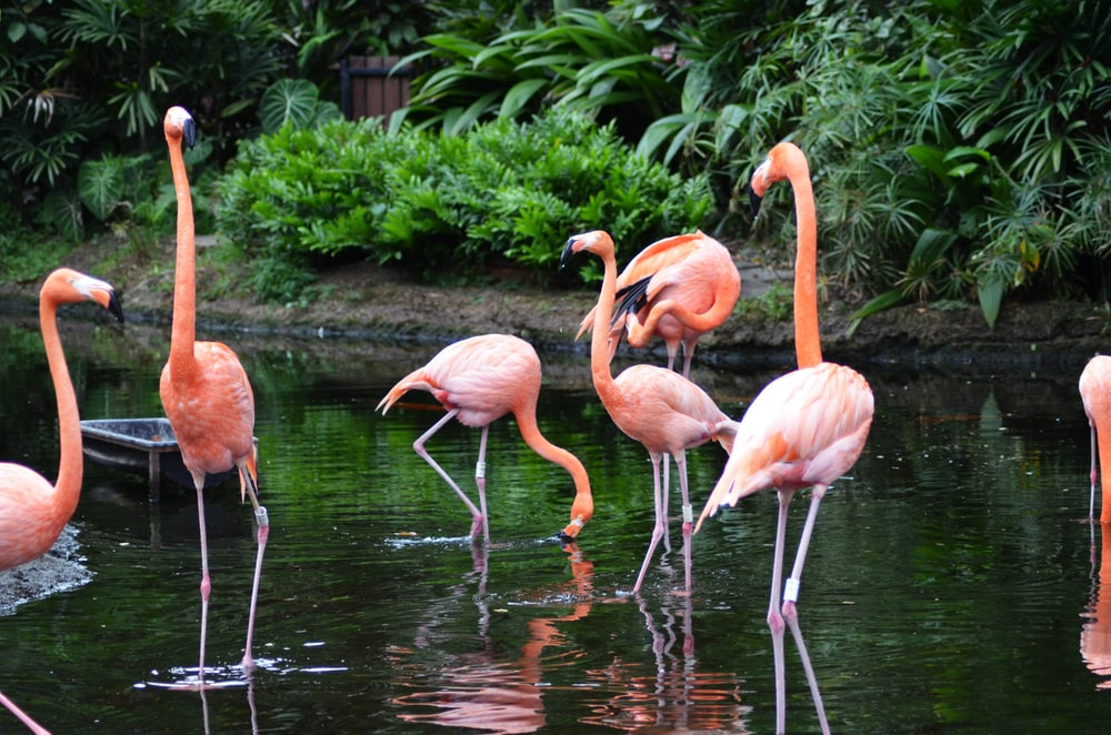 group of flamingo on lake