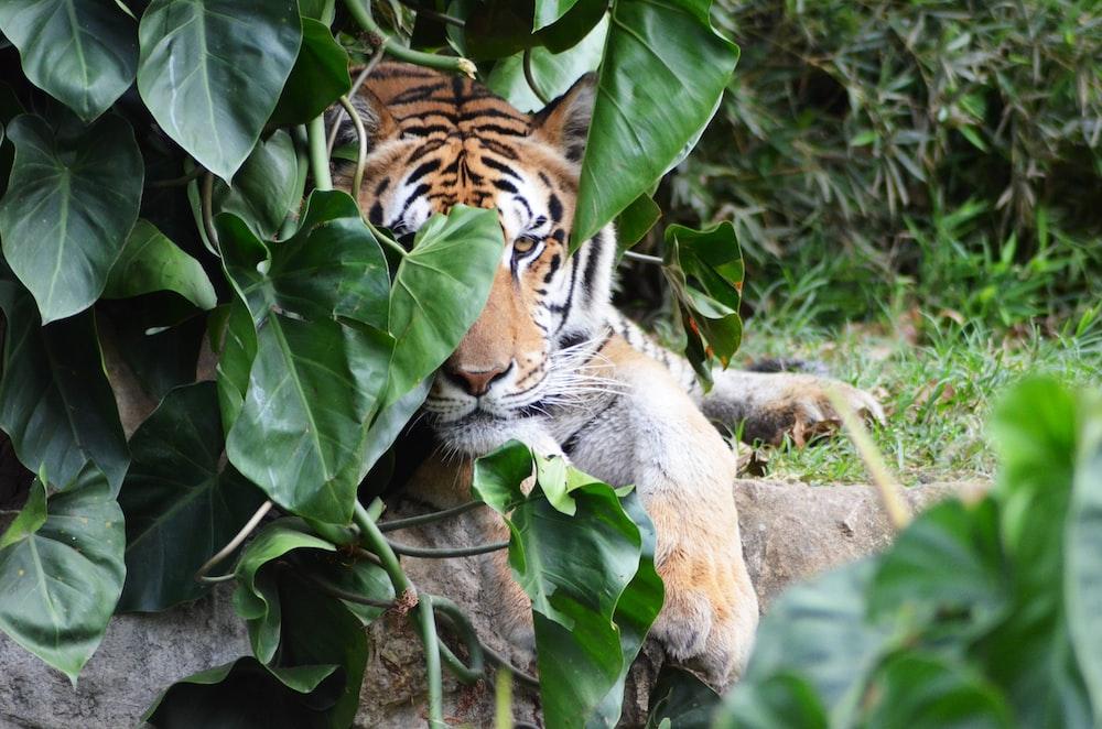 adult tiger hiding behind leaves