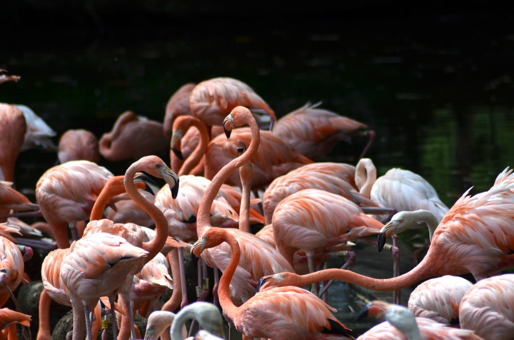 flamingo bird lot in body of water during daytime