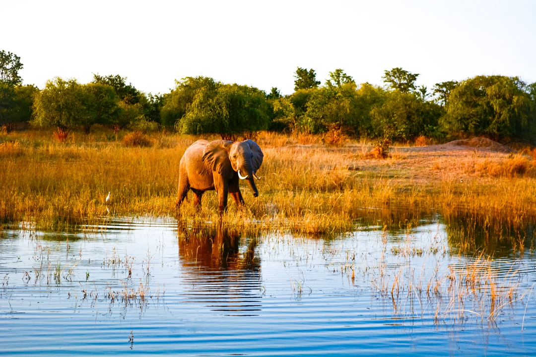 A baby elephant strolls at the lakeside for some water.