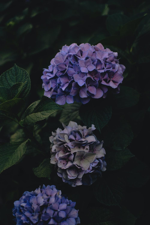 three purple-petaled flowers