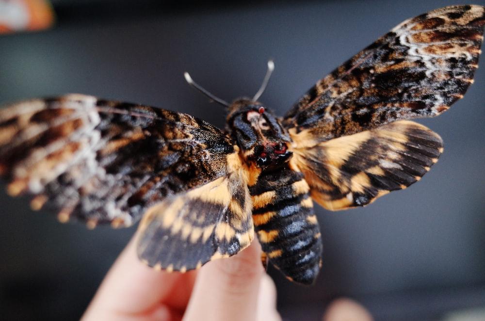 brown and black moth