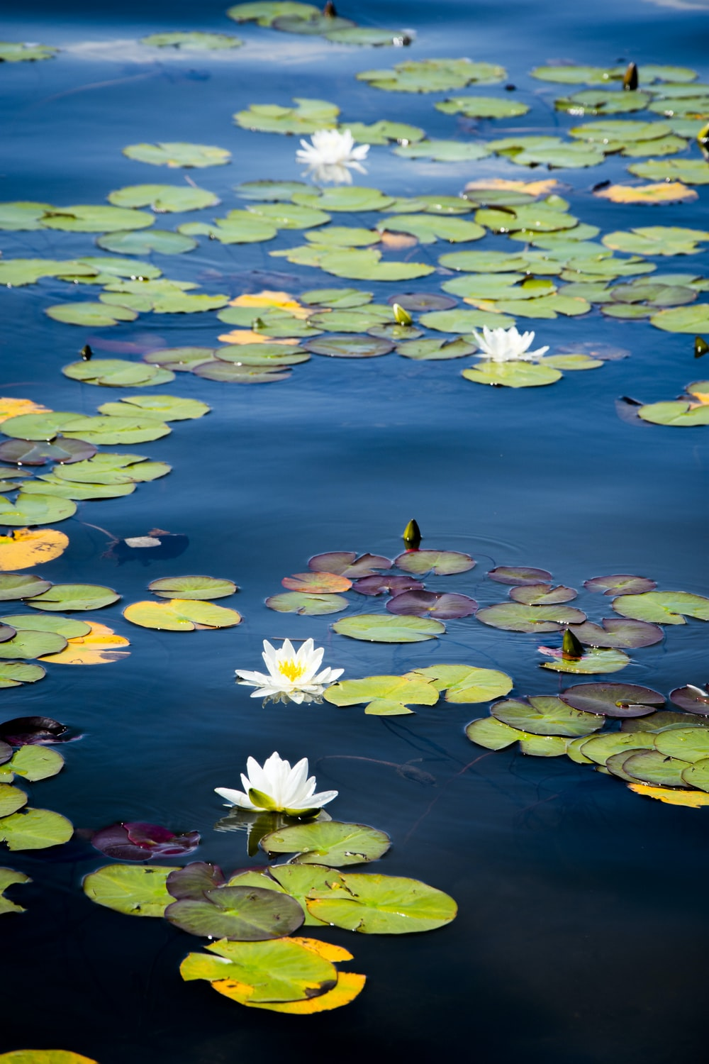 green lily pads on water