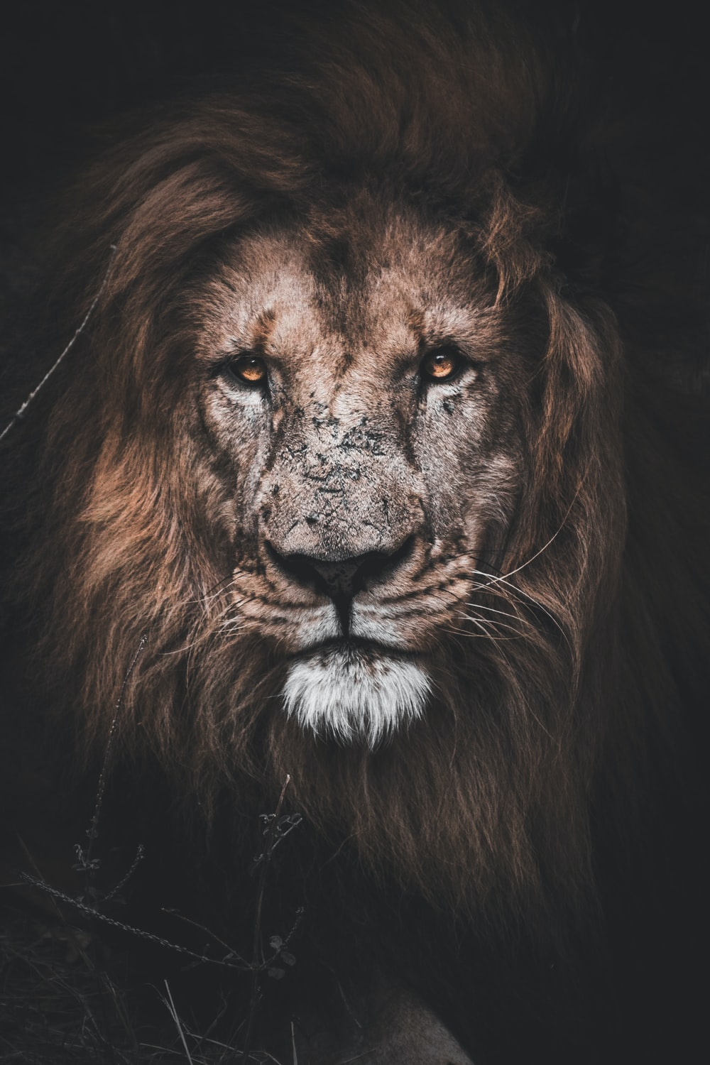 photo of brown lion