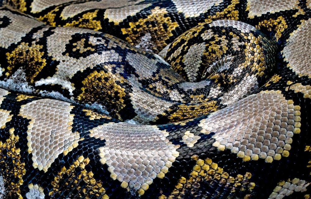 black, yellow, and gray python