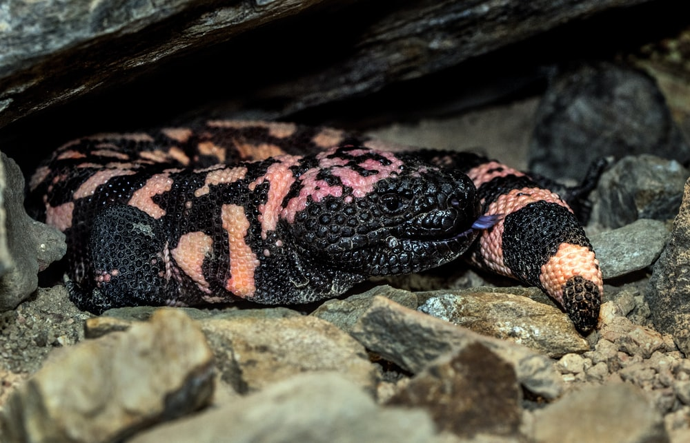 black and pink snake
