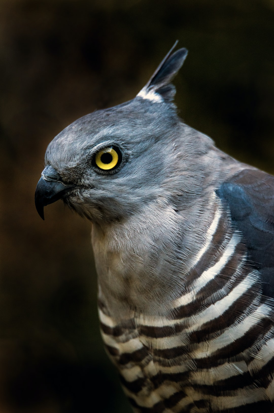 A Crested Hawk eyes off the photographer. Also known as a Pacific Baza. Photographed at Hartleys Crocodile adventures North of Cairns, Queensland, Australia,