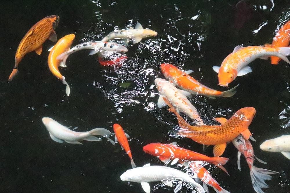 white and orange koi fish close-up photography