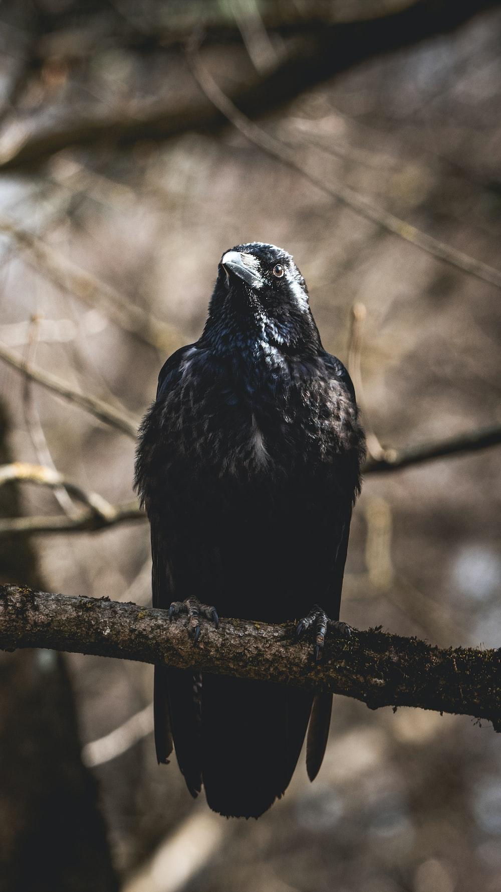 black bird perching on brown branch