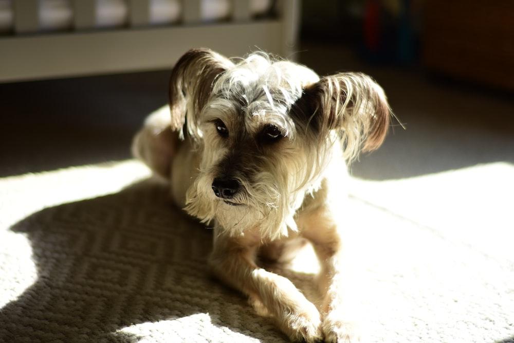 medium coat beige puppy on floor