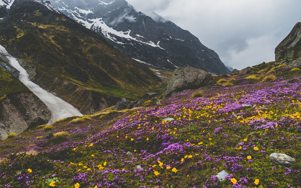 mountain covered with purple petaled flowers