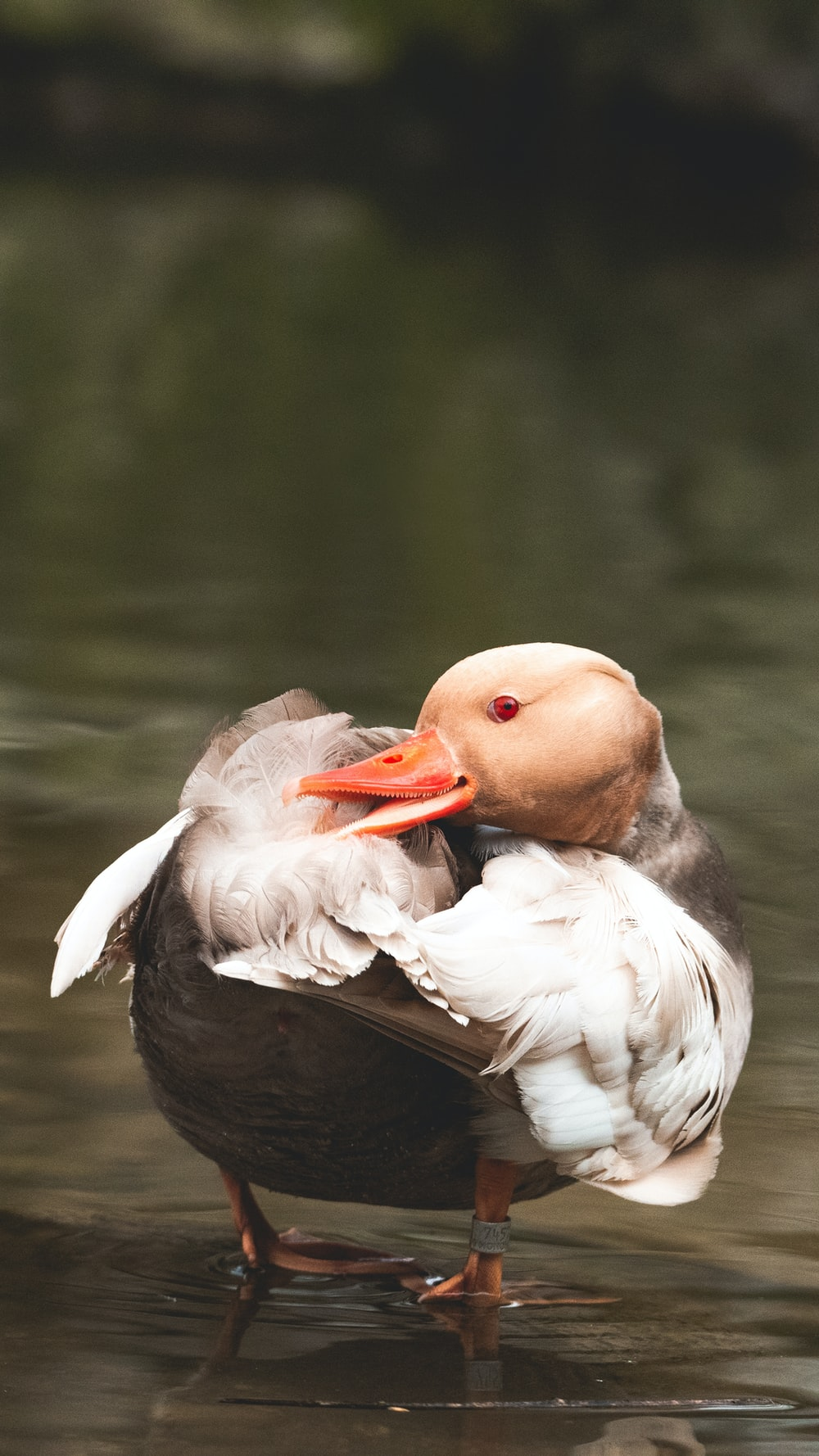 white and brown duck