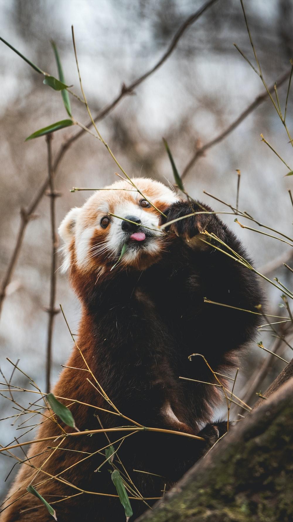 red panda close-up photography