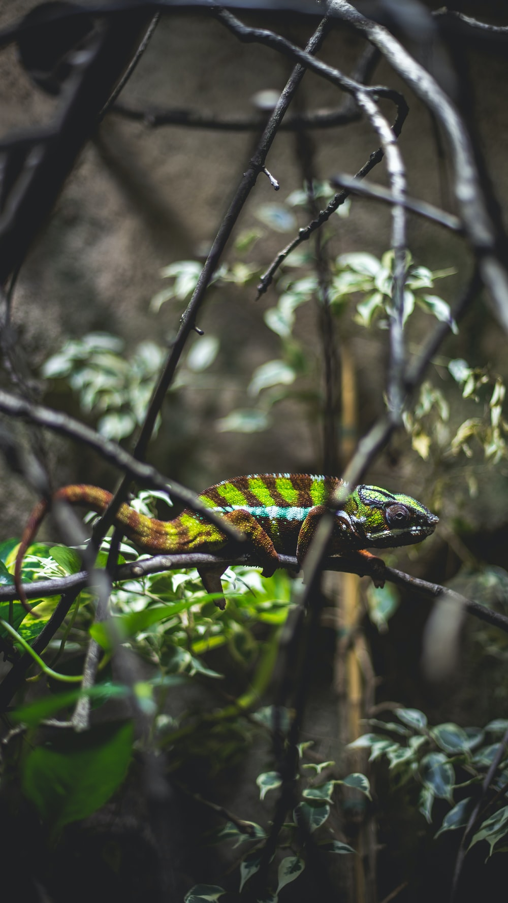 green and brown chameleon on tree branch