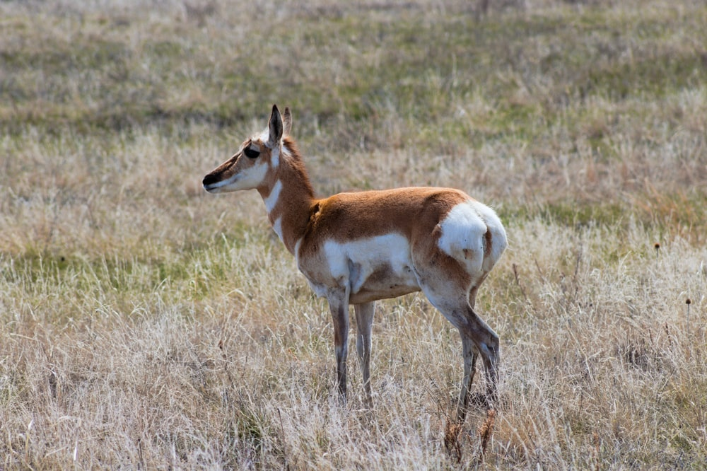 standing brown and white deer