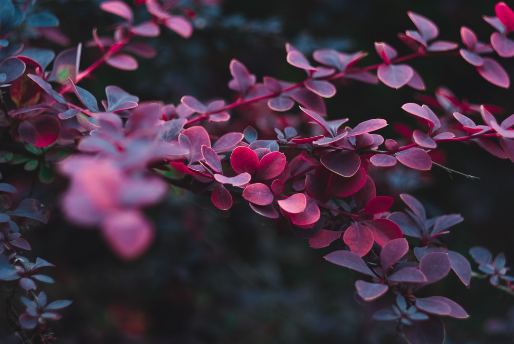 maroon plant