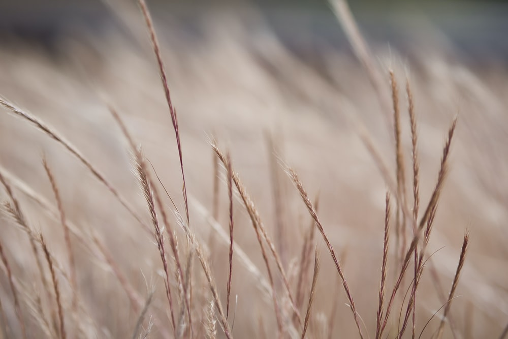 focus photography of wheats
