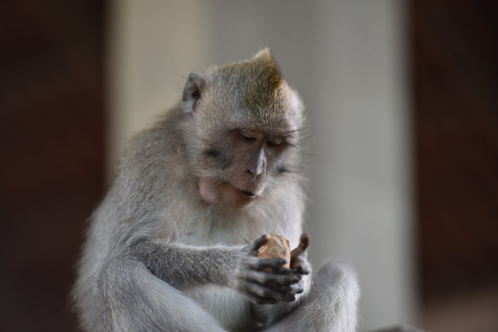 photo of gray and brown monkey