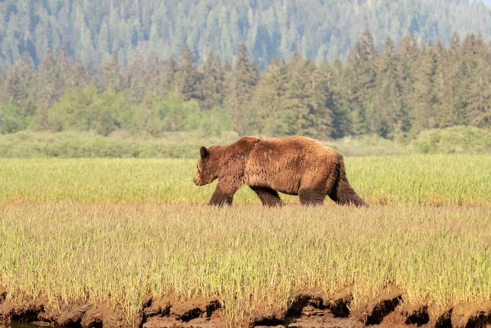 brown coated bear walking on grass field
