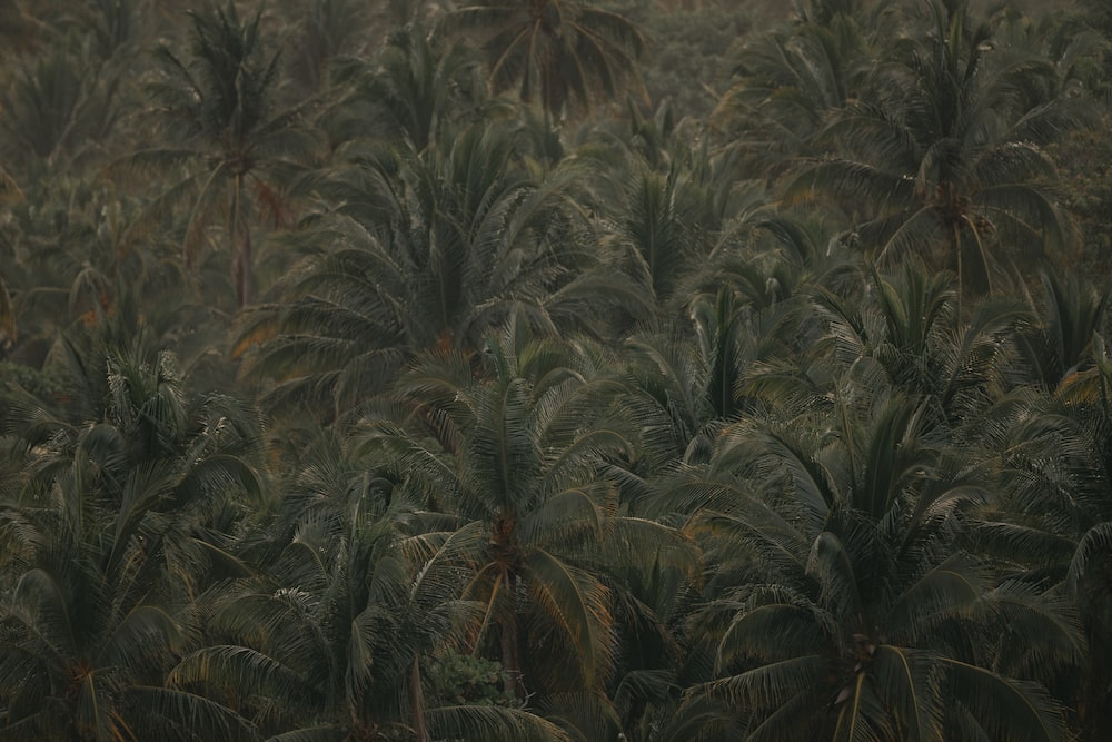 aerial view of coconut trees