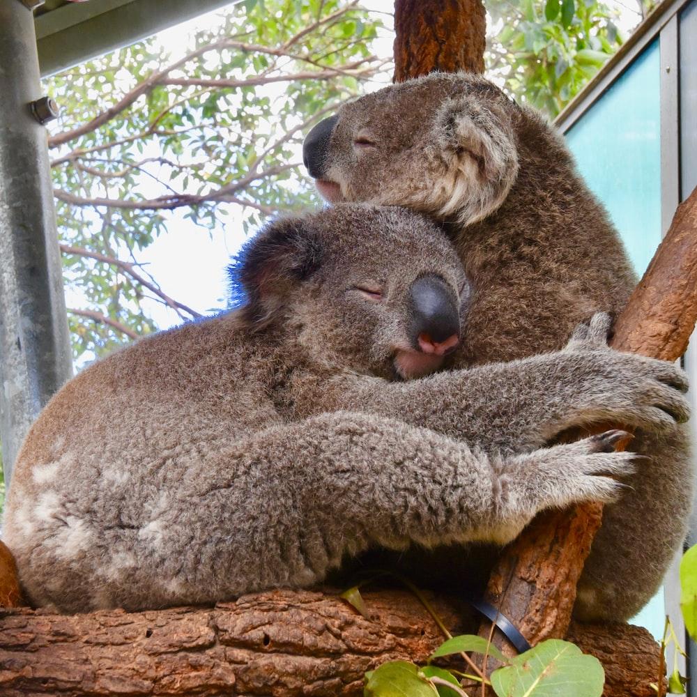 two koala bears cuddling on tree
