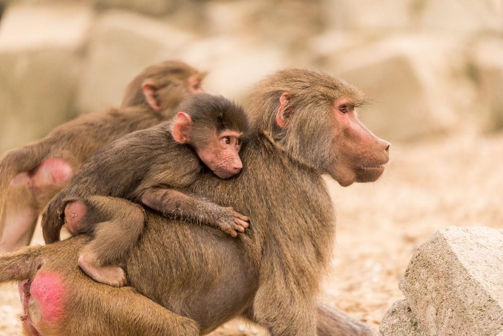 baby monkey on back of another monkey
