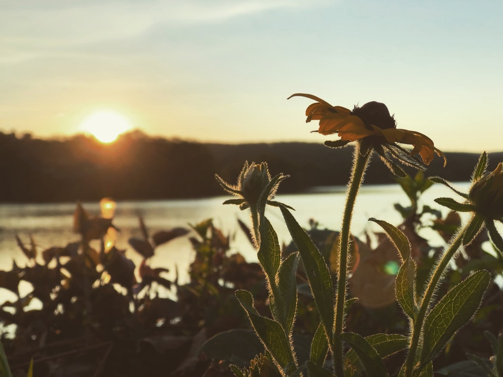 closeup photo of yellow flowers near body of water during golden hour