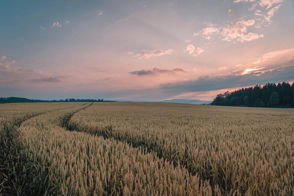 brown rice fields