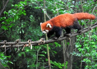 brown and black animal walking on rope in forest
