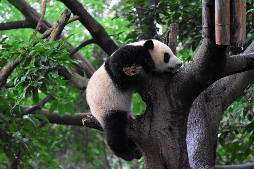 panda climbing on tree