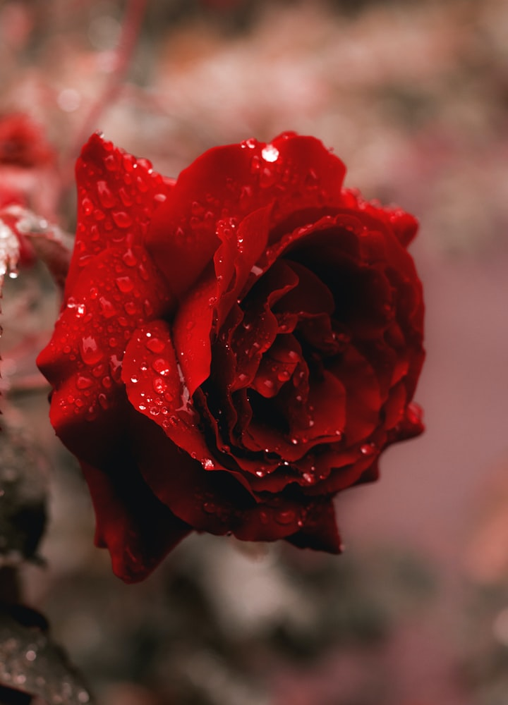 A Rose to remember.