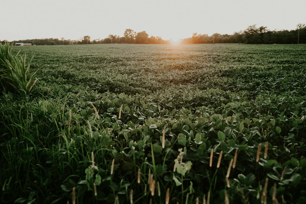 plant field under white sky