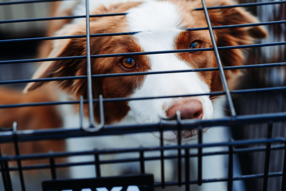short-coated tan and white dog inside dog crate
