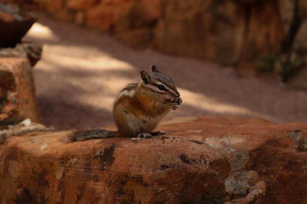 brown chipmunk on rock