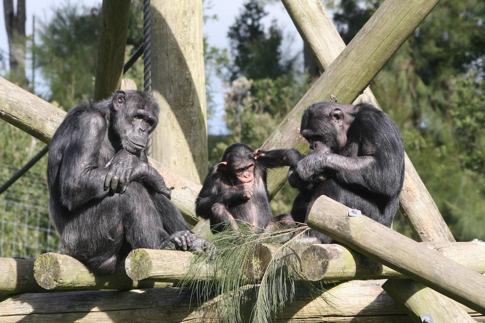 three grey monkey close-up photography