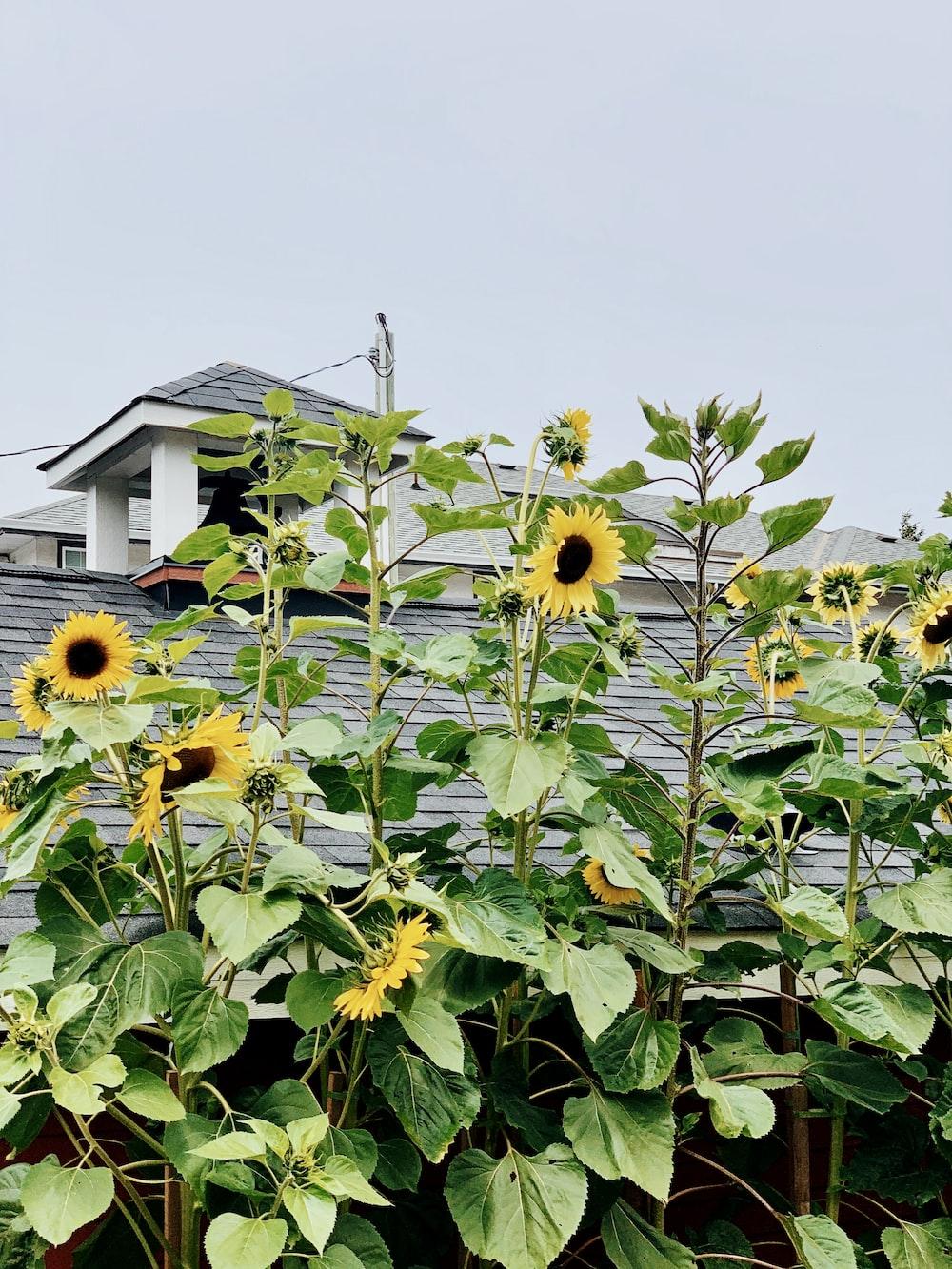 blooming yellow sunflower near house