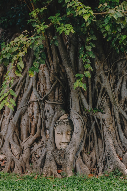 buddha's head on tree