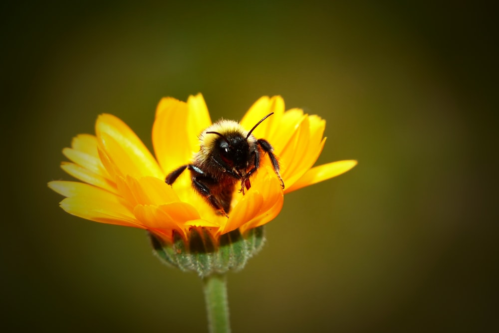close-up photo of yellow bee on yellow petaled flower