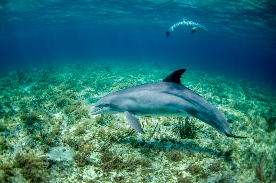 Pair of dolphin