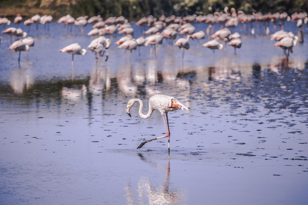 flocks of pink flamingo