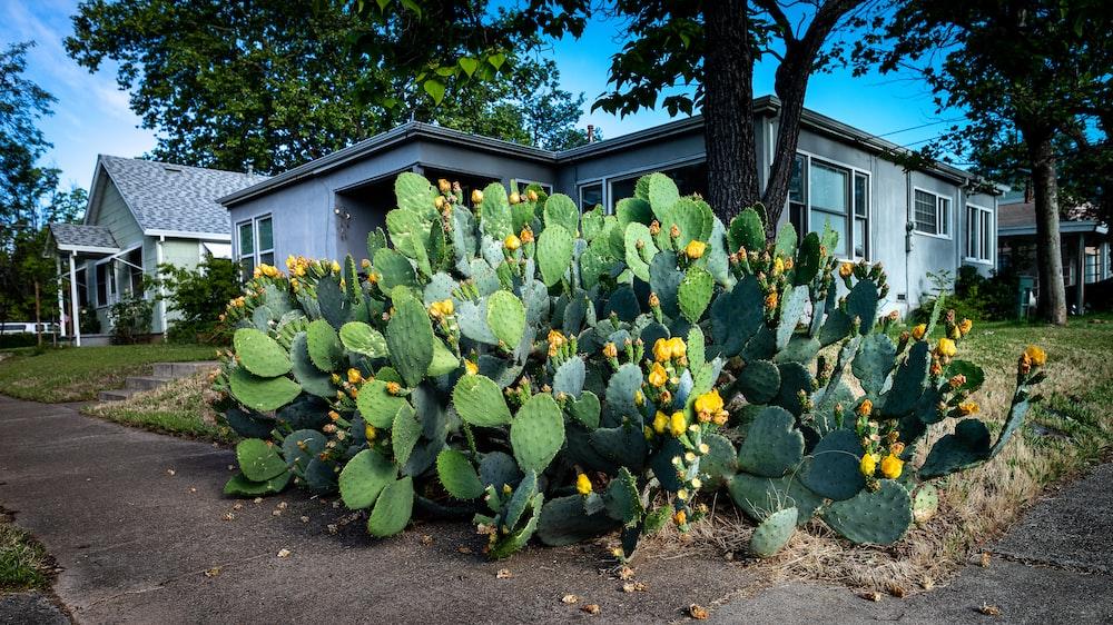 green cacti near gray house