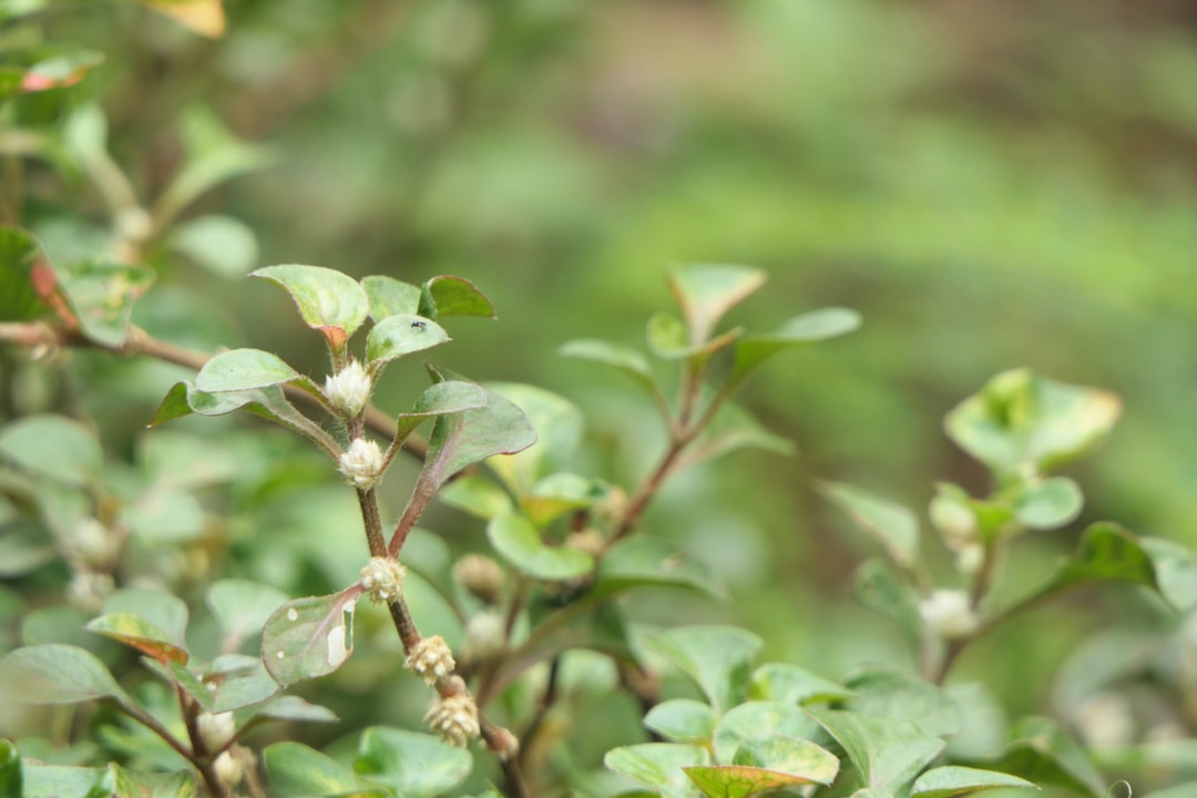 Aerva lanata (Mountain Knotgrass)