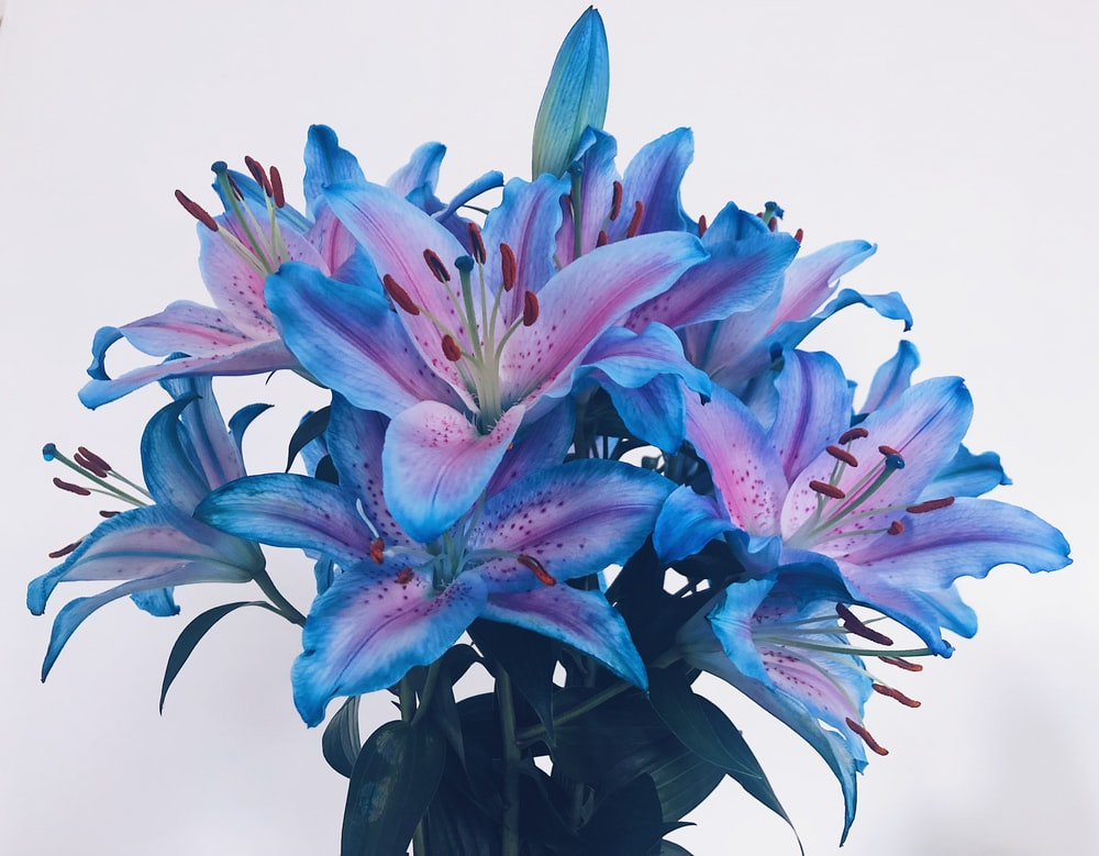 blue and pink-leafed plant