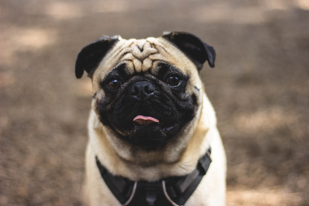 focus photography of fawn pug