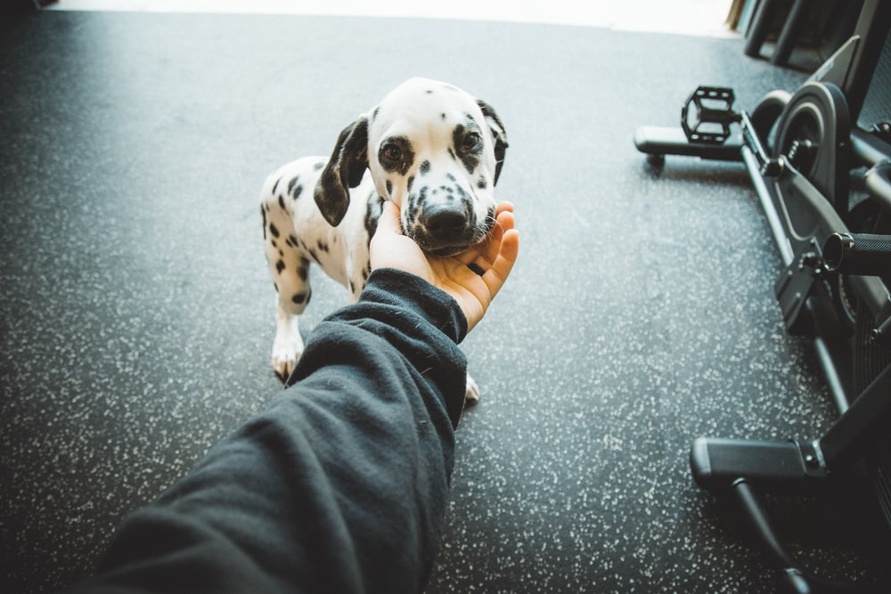 white and black dalmatian puppy